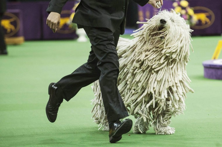Komondor Quintessential Chauncey is run through the ring by his handler as he competes in the working group on the last day of judging of the 2014 Westminster Kennel Club Dog Show in New York February 11, 2014. (Keith Bedford/Reuters photo)
