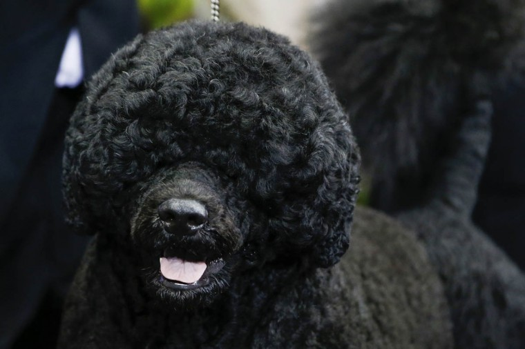 Portuguese water dog Matisse winner of the working group stands at the 138th Westminster Kennel Club Dog Show at Madison Square Garden in New York, February 11, 2014. (Shannon Stapleton/Reuters photo)