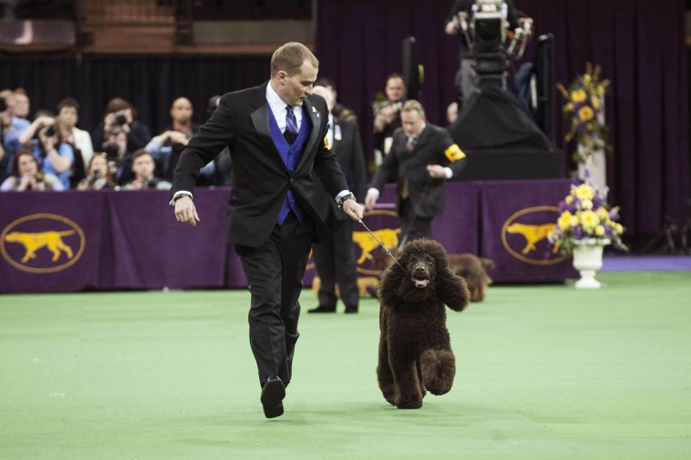 "Irish water spaniel Riley is run through the ring by her handler as she competes in the sporting group on the last day of judging of the 2014 Westminster Kennel Club Dog Show in New York February 11, 2014. Riley won the sporting group on Tuesday to become the fifth of an eventual seven furry finalists vying for ""best in show"" honors at the 138th Westminster Kennel Club dog show (Keith Bedford/Reuters photo)"