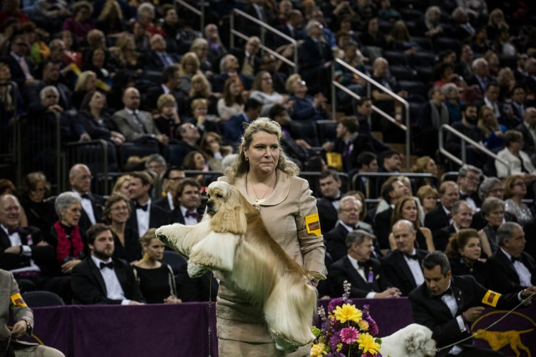 An Ascotb Cocker Spaniel competes in the Westminster Dog Show on February 11, 2014 in New York City. The annual dog show has been showcasing the best dogs from around world for the last two days in New York. (Andrew Burton/Getty Images)
