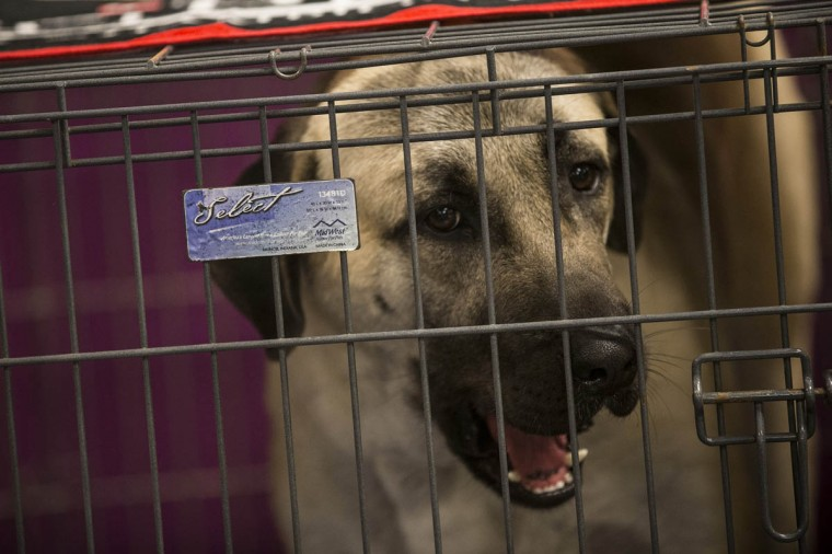 An Anatolian Shepherd sits in his cage while waiting to compete in the Westminster Dog Show on February 11, 2014 in New York City. The annual dog show has been showcasing the best dogs from around world for the last two days in New York. (Andrew Burton/Getty Images)