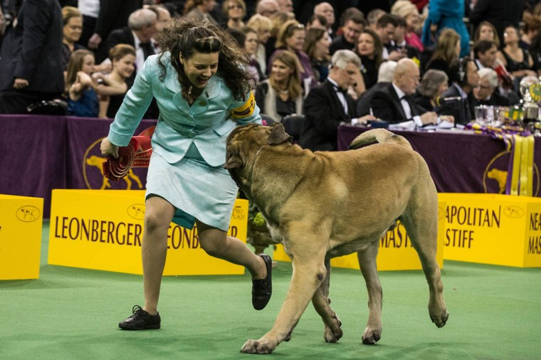A Mastiff competes in the Westminster Dog Show on February 11, 2014 in New York City. The annual dog show has been showcasing the best dogs from around world for the last two days in New York. (Andrew Burton/Getty Images)