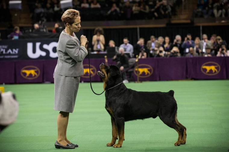 A Rottweiler competes in the Westminster Dog Show on February 11, 2014 in New York City. The annual dog show has been showcasing the best dogs from around world for the last two days in New York. (Andrew Burton/Getty Images)
