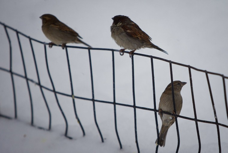Birds sit on a wire fence in Central Park as it snows in New York. (REUTERS/Carlo Allegri)