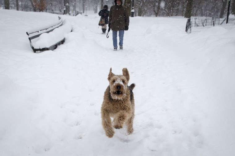 A dog runs along a path in Central Park as it snows in New York. (REUTERS/Carlo Allegri)