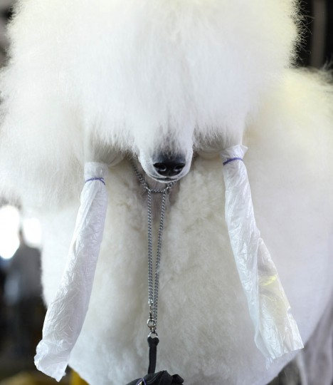 A Standard Poodle in the benching area at Pier 92 and 94 in New York City for the first day of competition at the 138th Annual Westminster Kennel Club Dog Show February 10, 2014. The Westminster Kennel Club Dog Show is a two-day, all-breed benched show that takes place at both Pier 92 and 94 and at Madison Square Garden in New York City . (Timothy Clary/Getty Images)