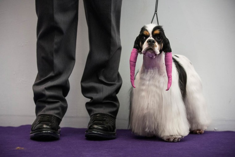 A cocker spaniel waits to compete in the Westminster Dog Show on February 11, 2014 in New York City. The annual dog show has been showcasing the best dogs from around world for the last two days in New York. (Andrew Burton/Getty Images)