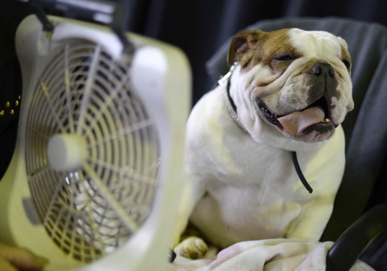 A Bulldog cools off with a fan in the benching area at Pier 92 and 94 in New York City for the first day of competition at the 138th Annual Westminster Kennel Club Dog Show February 10, 2014. The Westminster Kennel Club Dog Show is a two-day, all-breed benched show that takes place at both Pier 92 and 94 and at Madison Square Garden in New York City . (Timothy Clary/Getty Images)