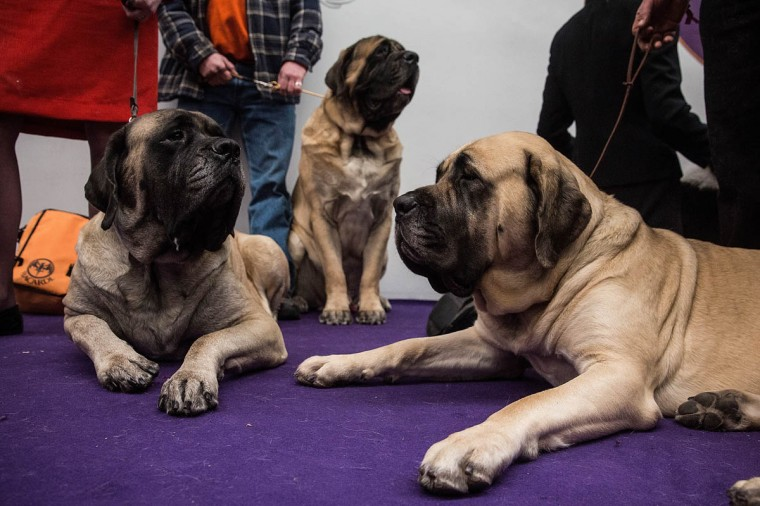 Mastiffs wait to compete during the Westminster Dog Show on February 11, 2014 in New York City. The annual dog show has been showcasing the best dogs from around world for the last two days in New York. (Andrew Burton/Getty Images)