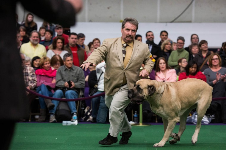 A mastiff competes during the Westminster Dog Show on February 11, 2014 in New York City. The annual dog show has been showcasing the best dogs from around world for the last two days in New York. (Andrew Burton/Getty Images)