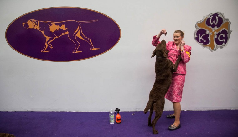 A Chesapeake Bay retriever waits to compete in the Westminster Dog Show on February 11, 2014 in New York City. The annual dog show has been showcasing the best dogs from around world for the last two days in New York. (Andrew Burton/Getty Images)
