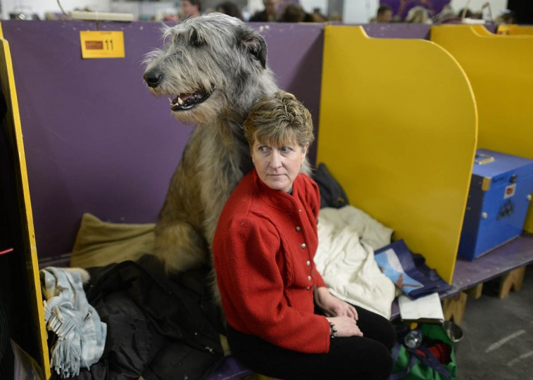 Karen Straghan and a Irish Wolfhound in the benching area at Pier 92 and 94 in New York City for the first day of competition at the 138th Annual Westminster Kennel Club Dog Show February 10, 2014. The Westminster Kennel Club Dog Show is a two-day, all-breed benched show that takes place at both Pier 92 and 94 and at Madison Square Garden in New York City . (Timothy Clary/Getty Images)