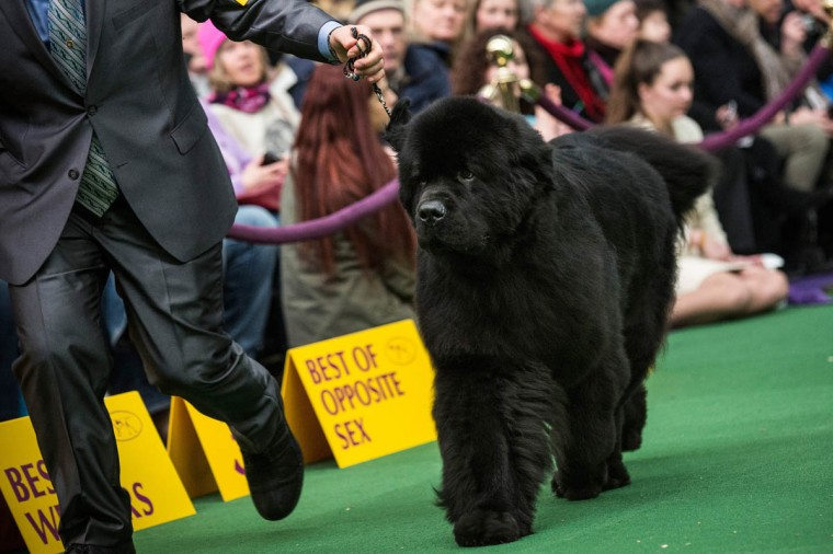 A Newfoundland competes during the Westminster Dog Show on February 11, 2014 in New York City. The annual dog show has been showcasing the best dogs from around world for the last two days in New York. (Andrew Burton/Getty Images)