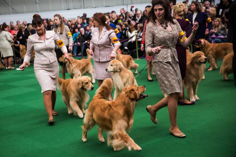 Golden retrievers compete during the Westminster Dog Show on February 11, 2014 in New York City. The annual dog show has been showcasing the best dogs from around world for the last two days in New York. (Andrew Burton/Getty Images)