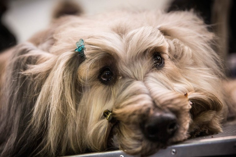 "A Briard named ""Cagney"" waits with hairclips in during the 138th annual Westminster Dog Show at the Piers 92/94 on February 10, 2014 in New York City. The annual dog show showcases the best dogs from around world for the next two days in New York. (Andrew Burton/Getty Images)"