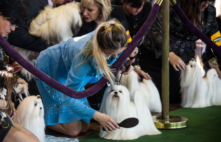 Malteses are groomed one last time before competing in the 138th annual Westminster Dog Show at the Piers 92/94 on February 10, 2014 in New York City. The annual dog show showcases the best dogs from around world for the next two days in New York. (Andrew Burton/Getty Images)