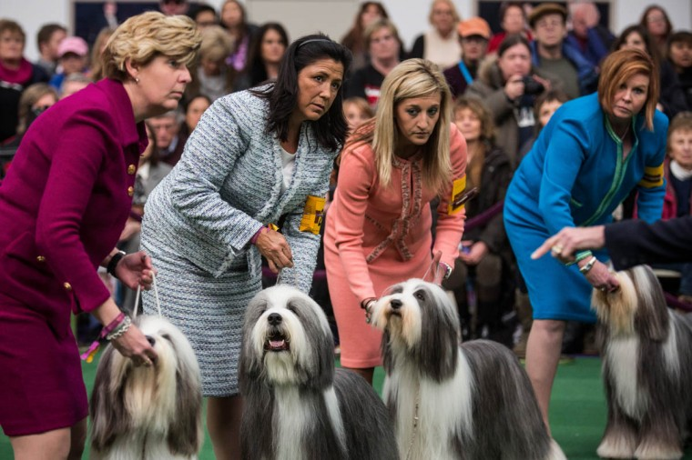 Old English Sheep Dogs compete in the 138th annual Westminster Dog Show at the Piers 92/94 on February 10, 2014 in New York City. The annual dog show showcases the best dogs from around world for the next two days in New York. (Andrew Burton/Getty Images)