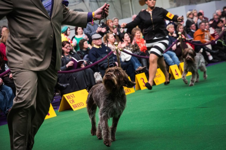 A wire point griffon competes in the Westminster Dog Show on February 11, 2014 in New York City. The annual dog show has been showcasing the best dogs from around world for the last two days in New York. (Andrew Burton/Getty Images)