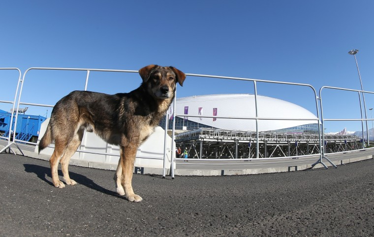 A stray dog walks through Olympic Park ahead of the Sochi 2014 Winter Olympics on February 3, 2014 in Sochi, Russia. (Photo by Bruce Bennett/Getty Images)