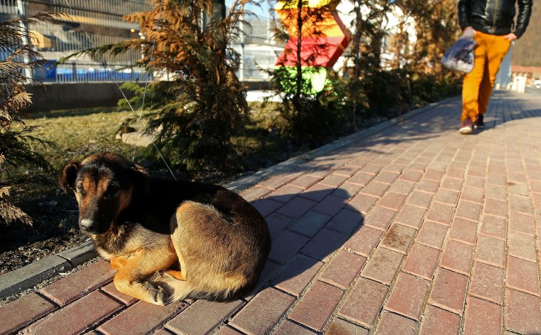 A stray dog lies on the sidewalk at Rosa Khutor Mountain ahead of the Sochi 2014 Winter Olympics on February 2, 2014 in Sochi, Russia. (Photo by Mike Ehrmann/Getty Images)