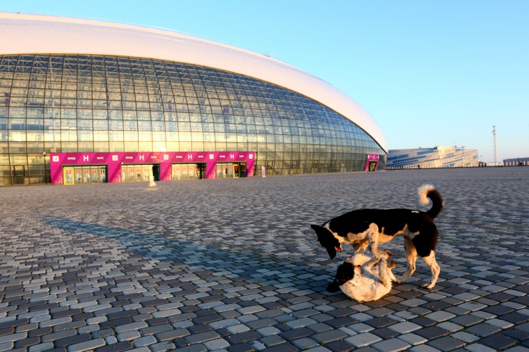 Stray dogs wrestle outside the Bolshoy Ice Dome ahead of the Sochi 2014 Winter Olympics at the Olympic Park on February 2, 2014 in Sochi, Russia. (Photo by Quinn Rooney/Getty Images)