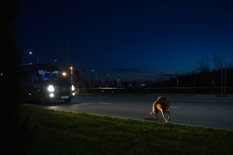 A stray dog walks on the road outside the Olympic Park prior to the Sochi 2014 Winter Olympics on February 2, 2014 in Sochi, Russia. (Photo by Pascal Le Segretain/Getty Images)
