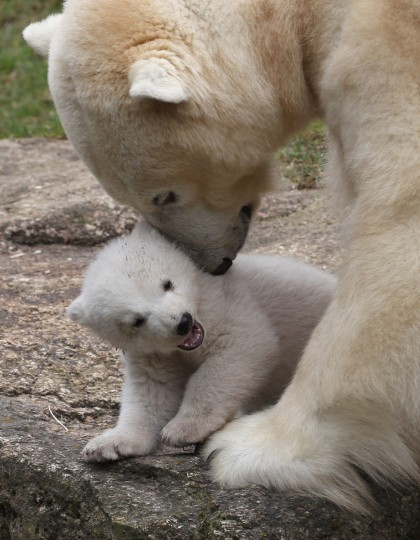 One of the 14 week-old twin polar bear cubs plays with her mother Giovanna during their first presentation to the media in Hellabrunn zoo in Munich, Germany. The male and female twins were born on December 9, 2013 in the zoo. (Alexandra Beier/Getty Images)