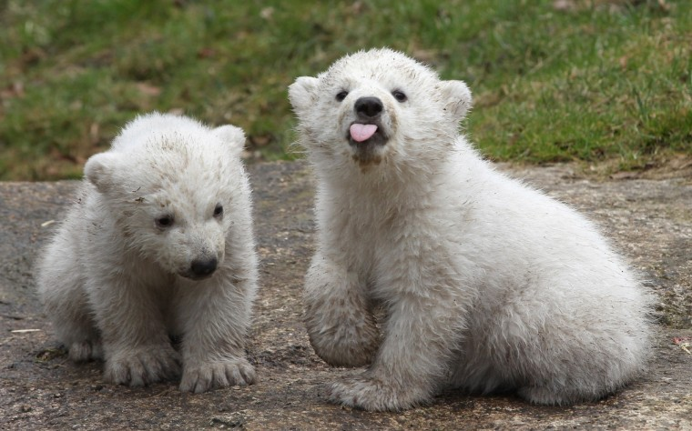 14 week-old twin polar bear cubs play during their first presentation to the media in Hellabrunn zoo in Munich, Germany. The male and female twins were born on December 9, 2013 in the zoo. (Alexandra Beier/Getty Images)