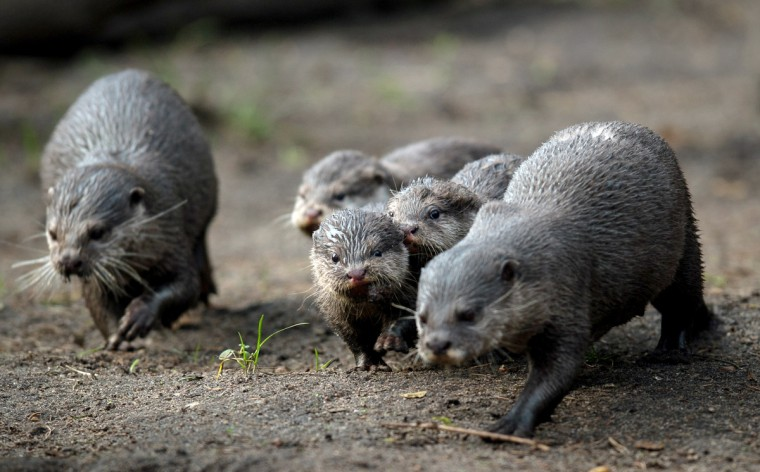 Small-clawed otters walk through their enclosure on March 5, 2014 at the Tierpark zoo in Neumuenster, northwestern Germany. Six small-clawed otter babies were born at the zoo on December 7, 2013. (Maja Hitij/Getty Images)