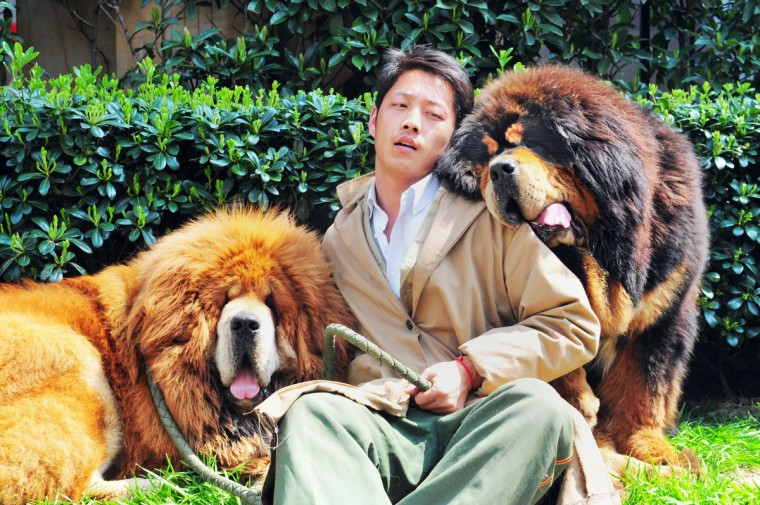 "An unidentified man poses for a photo with two Tibetan mastiffs after they were sold at a ""luxury pet"" fair in Hangzhou, in eastern China's Zhejiang province. One of the Tibetan mastiff puppies (L) was sold in China for almost two million USD, a report said on March 19, in what could be the most expensive dog sale ever. (Getty Images)"