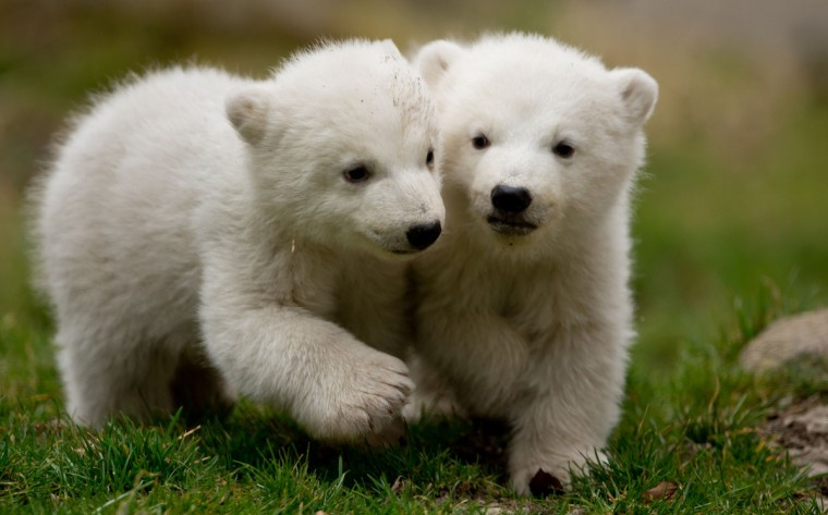 The two 14 week-old polar bear twins explore the outdoor enclosure at Tierpark Zoo in Munich. (Sven Hoppe/Getty Images)