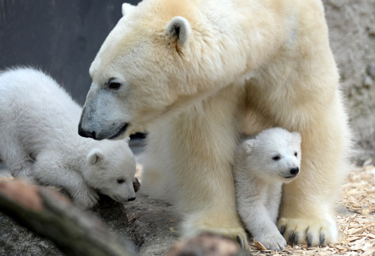 The 14 week old polar bear twins play with their mother in their enclosure during the first outside excursion in the zoo in Munich Hellabrunn, southern Germany. (Christof Stache/Getty Images)
