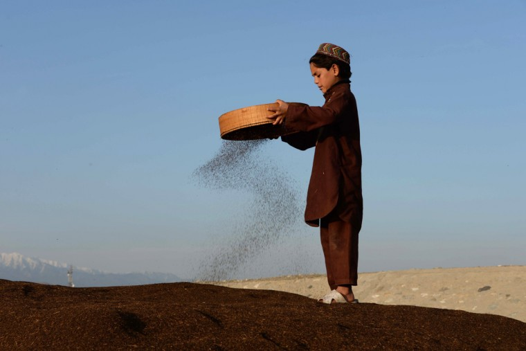 An Afghan child separates loose husk from their basil harvest on the outskirts of Jalalabad, Nangarhar province. Only about 15 percent of Afghanistan's land, mostly in scattered valleys, is suitable for farming with about 6 percent of the land actually cultivated with wheat being the most important crop. (Noorullah Shirzada/Getty Images)