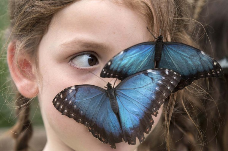 Butterflies sit on the face of Isla, aged 6, in the Natural History Museum's 'Sensational Butterflies' outdoor butterfly house on March 31, 2014 in London, England. The temporary attraction on the East Lawn of the Natural History Museum houses hundreds of free-flying, rare butterflies and runs from April 3, 2014 until September 14, 2014. (Photo by Oli Scarff/Getty Images)