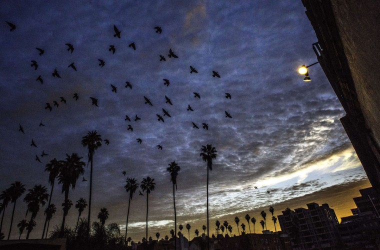 A flock of birds fly in the morning light over the Chapman Park Studio Building in Los Angeles on March 9, 2014. (JOE KLAMAR/AFP/Getty Images)A flock of birds fly in the morning light over the Chapman Park Studio Building in Los Angeles on March 9, 2014. (JOE KLAMAR/AFP/Getty Images)