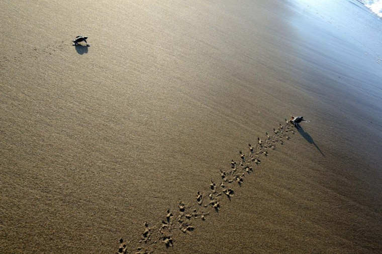 This photograph taken on March 23, 2014 shows baby green turtles crawling to the sea after being hatched and released at a turtle sanctuary on Sukamade island in Banyuwangi regency, East Java province. Indonesia, at the crossroads of important migration routes next to the Pacific and Indian Oceans, is home to six out of seven of the world's turtle species. (Sonny Tumbelaka/AFP/Getty Images)