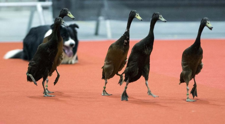 A border collie guides gooses during a competition on the third day of an international dog show at the fair ground in Berlin March 30, 2014 in Berlin. (Johannes Eisele/AFP/Getty Images)