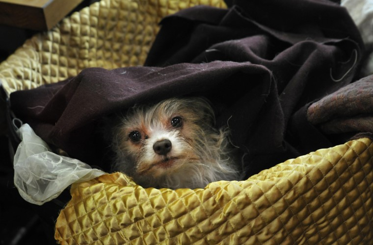 Tazwell, who belongs to costume designer and tailor John Bernatitus, likes to nestle into a cozy basket of fabrics near the sewing machines. (Amy Davis / Baltimore Sun)