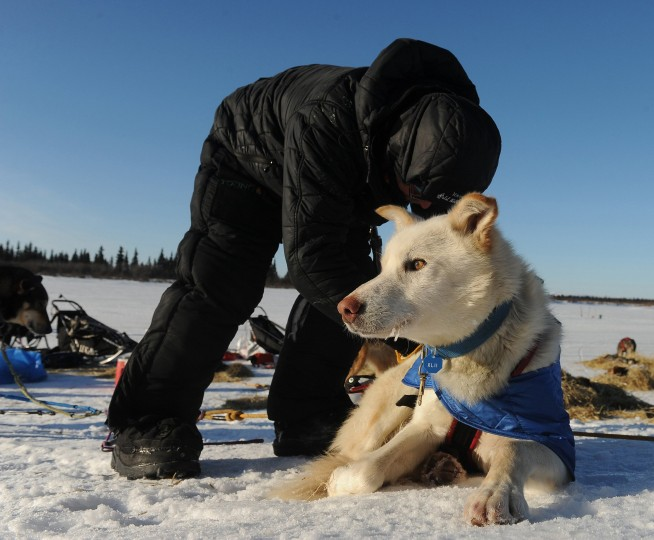 Mitch Seavey works with his dog team after he arrived at the White Mountain, Alaska, checkpoint during the Iditarod Trail Sled Dog Race on Monday, March 10, 2014. (Bob Hallinen/Anchorage Daily News/MCT)