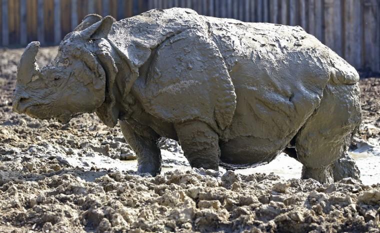 A rhino enjoys a mud bath at the zoo of Planckendael near Mechelen March 29, 2014. (Yves Herman / Reuters)