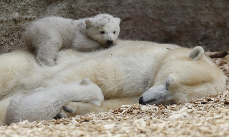 Twin polar bear cubs lie on their mother Giovanna outside in their enclosure at Tierpark Hellabrunn in Munich. The 14 week-old cubs, who made their first public appearance on Wednesday, have yet to be named. (Michael Dalder/Reuters)