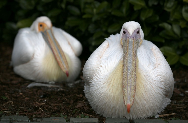 Pelicans sit in an enclosure at the Grugapark in Essen. (Ina Fassbender/Reuters)