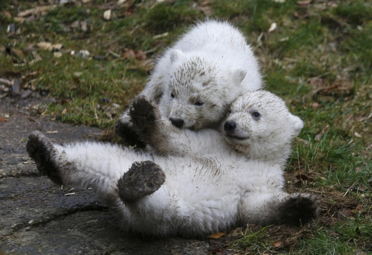 Twin polar bear cubs play outside in their enclosure at Tierpark Hellabrunn in Munich. (Michael Dalder/Reuters)