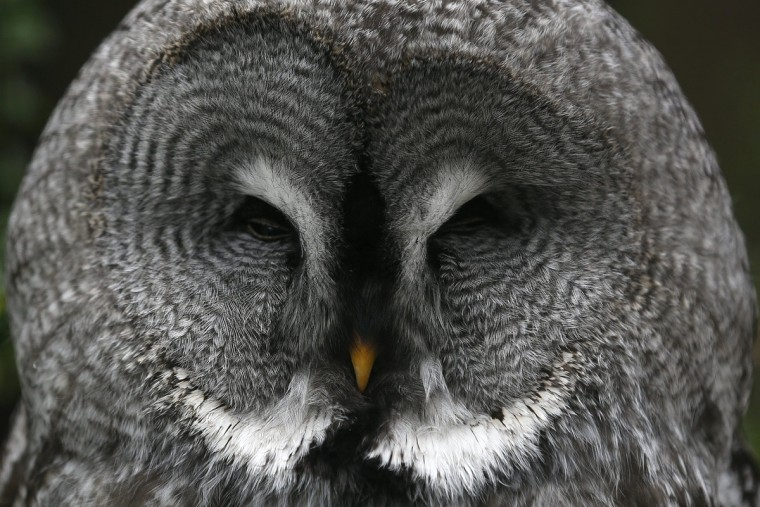 A great grey owl sits in its enclosure at the Grugapark in Essen. (Ina Fassbender/Reuters)