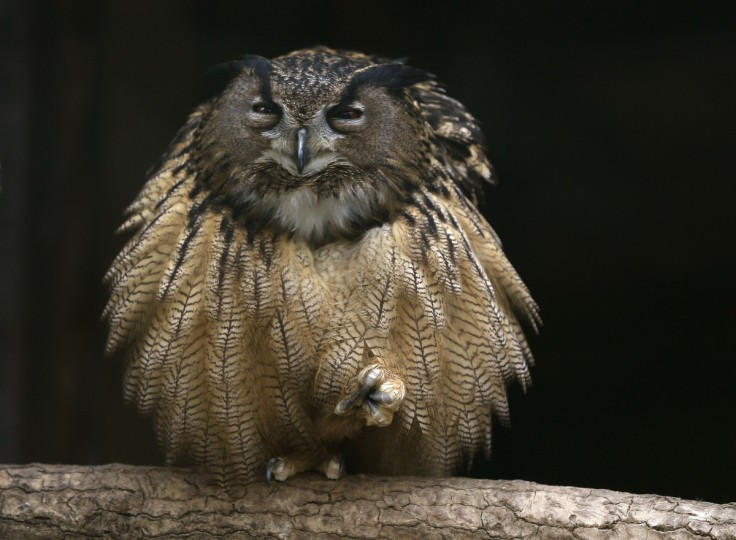 An eagle owl fluffs out its feathers as it sits on one foot on a branch in its enclosure at the Grugapark in Essen. (Ina Fassbender/Reuters)