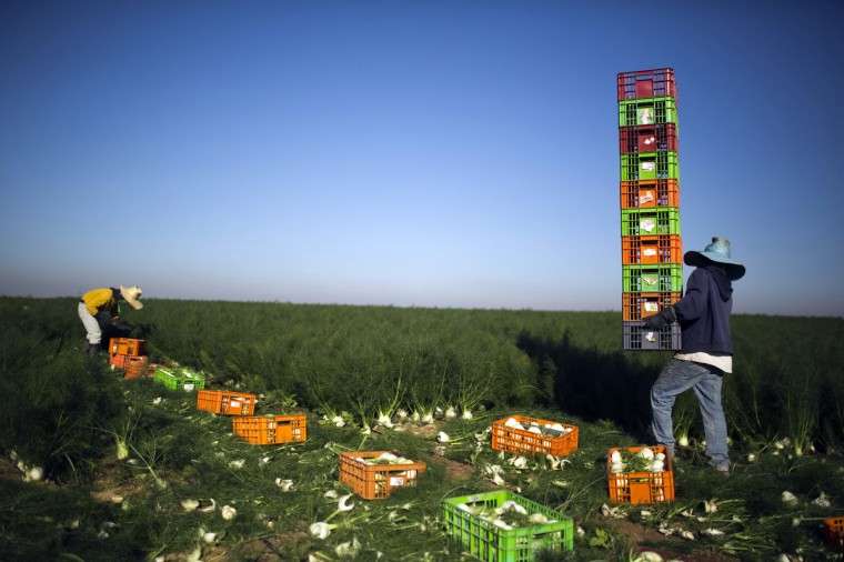 Thai workers collect freshly harvested fennel near Kibbutz Sa'ad in southern Israel. (Amir Cohen/Reuters)