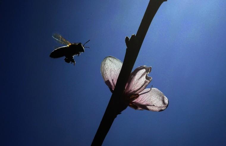 A bee flies near peach blossoms in Studencice March 29, 2014. (Srdjan Zivulovic / Reuters)