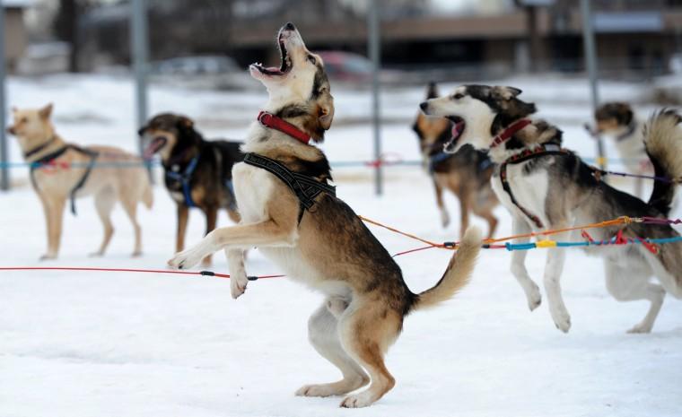 Iditarod mushers