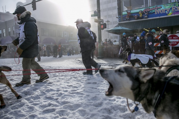 Dogs bark as teams line up near the entry chute of the ceremonial start to the Iditarod dog sled race in downtown Anchorage, Alaska, March 1, 2014. (REUTERS/Nathaniel Wilder)