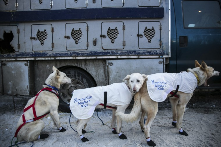 Sled dogs await lineup for the entry chute of the ceremonial start to the Iditarod dog sled race in downtown Anchorage, Alaska, March 1, 2014. (REUTERS/Nathaniel Wilder)